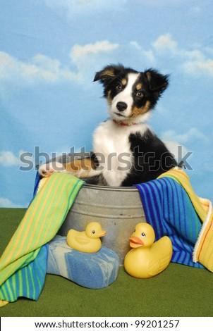 Border Collie Puppy in a Bath Tub