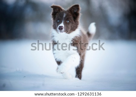 Border collie puppy in action. Puppy is running through the snow.