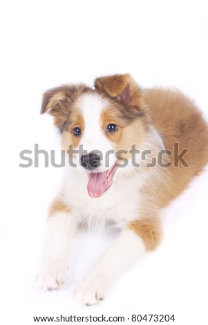 border collie puppy isolated #80473204