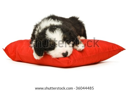 Border Collie puppy isolated on a white background while sleeping on a red cushion