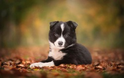 Border collie puppy lying in the forest