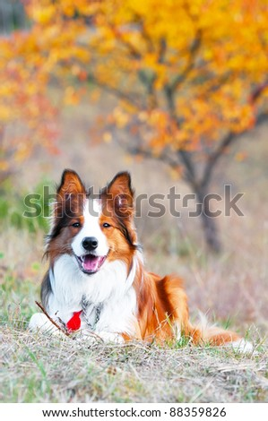 border collie puppy lying on a grass in autumn time