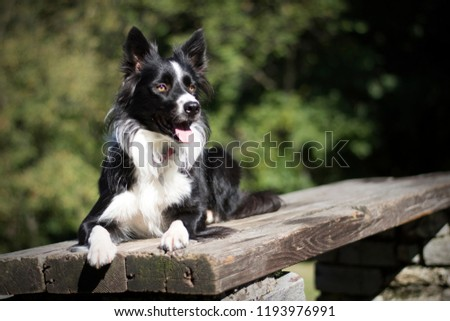 Border Collie puppy lying on a wooden table in the woods