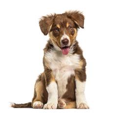 Border Collie puppy , 3 months old, sitting against white background