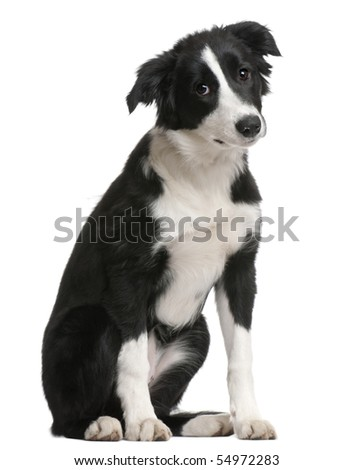 Border Collie puppy, 4 months old, sitting in front of white background - stock photo