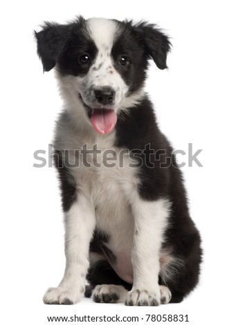 Border Collie puppy, 3 months old, sitting in front of white background