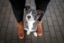 border collie puppy sitting between owner legs and looking up, top view portrait