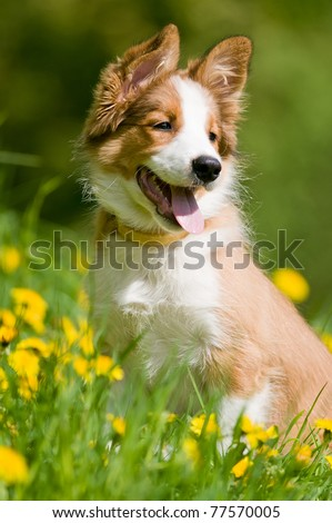 border collie puppy sitting in the dandelions