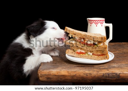 Border collie puppy steeling a sandwich from the table - stock photo