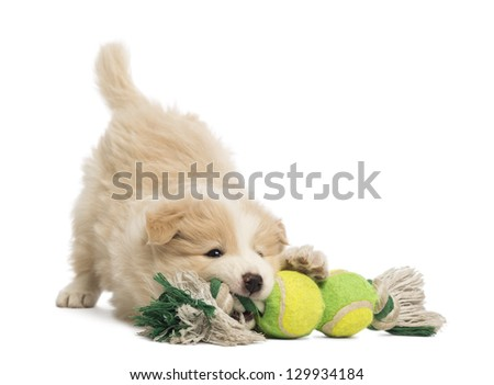 Border Collie puppy 6 weeks old playing with a dog toy in front of white background