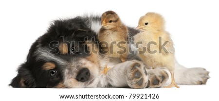 Border Collie puppy, 6 weeks old, playing with chicks in front of white background - stock photo