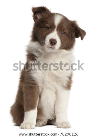 Border Collie puppy, 8 weeks old, sitting in front of white background