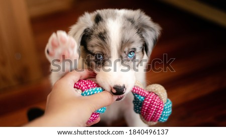 Border collie puppy with blue eyes. Front view. Hand holding dog toy. Border collie puppy playing. Biting toy for tooth pain. First teeth.