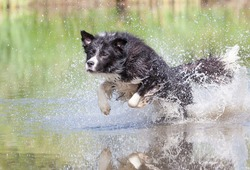 Border collie running through water, making many splashes