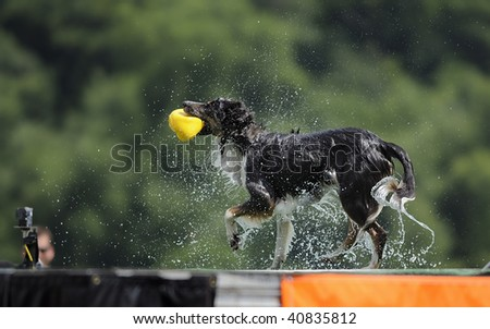 Border Collie shakes off water after completing jump in Dock Dog Big Air jump competition