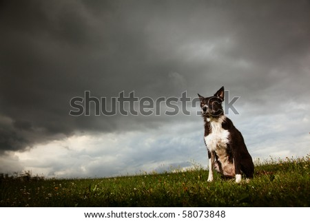 Border Collie sitting outside with storm clouds comming