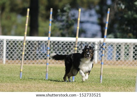 Border collie, star agility competition