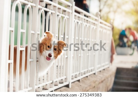 Border Collie stuck his head through the fence