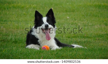 Border Collie tired and resting after playing with the ball in the park