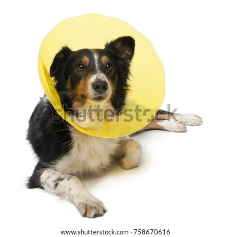 Border collie wearing a space collar lying in front of white background
