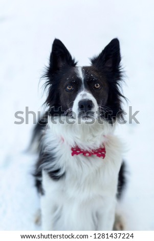 Border Collie wearing red bow tie with white polka dots looking up winter portrait