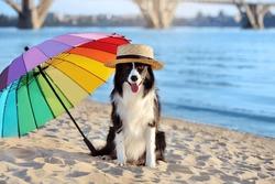Border collie wearing straw hat sitting under the multicolored umbrella