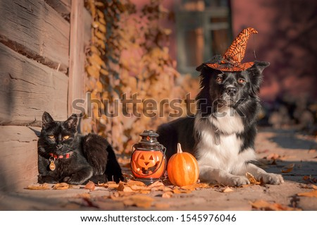Border collie with a witch hat laying near Halloween decorations in orange leaves with a black cat