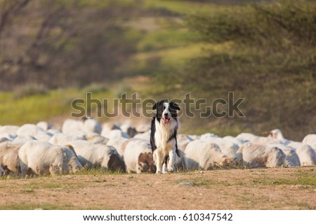 Border collie with herd of sheep #610347542