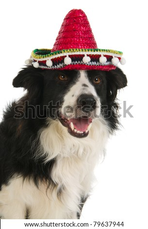 Border Collie with Spanish Sombrero in the studio