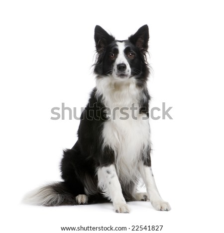 Border Collie (4 years) in front of a white background
