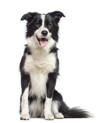Border Collie, 1.5 years old, sitting and looking away against white background