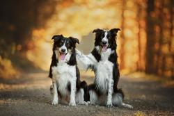 Border collies hug each other. Dog friends. Doglove.