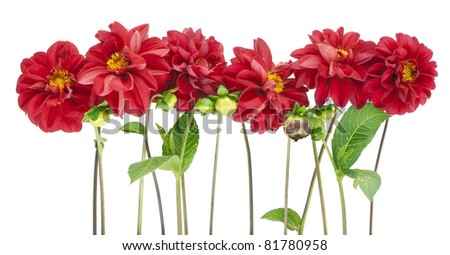 Border from  darkly red dahlias flowers isolated