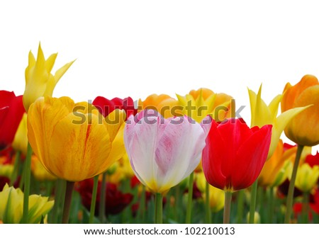 Border made of colorfull tulips on white background