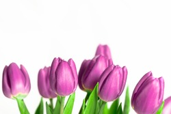 Border of beautiful fresh purple spring tulips at the bottom of a horizontal frame on a white background with plenty of copy space symbolic of springtime