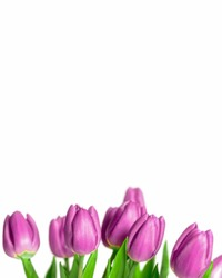 Border of beautiful fresh purple spring tulips at the bottom of a vertical frame on a white background with plenty of copy space symbolic of springtime