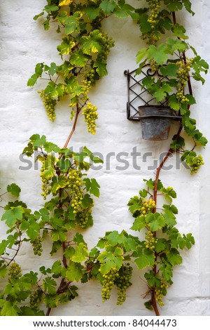 Border of fresh grapevine with ripe grapes.