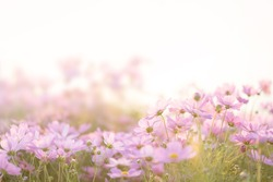 Border of pink cosmos flower in cosmos field in garden with blurry background and soft sunlight for horizontal floral poster. Close up flowers blooming on softness style in spring summer under sunrise