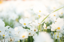 Border of white cosmos flower in cosmos field in garden with blurry background and soft sunlight for horizontal floral poster. Closeup flowers blooming on softness style in spring summer under sunrise