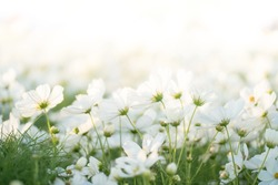 Border of white cosmos flower in cosmos field in garden with blurry background & soft sunlight for horizontal floral poster. Close up flowers blooming on softness style in spring summer under sunrise