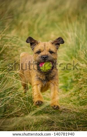 Border Terrier #140781940