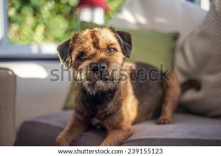 Border Terrier  #239155123