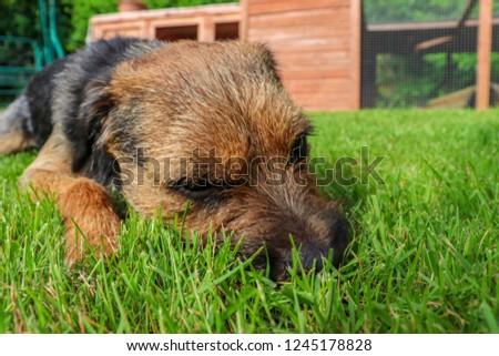 Border terrier dog lying down on grasss #1245178828