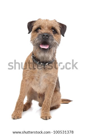 Border Terrier in front of a white background #100531378