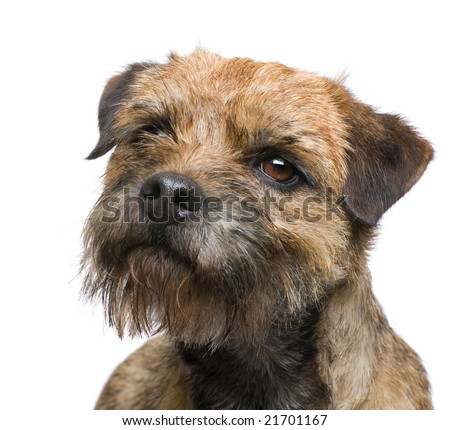 Border terrier in front of a white background #21701167