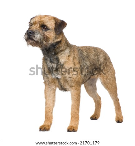 Border terrier in front of a white background #21701179