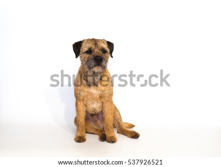 Border Terrier in front of a white background #537926521