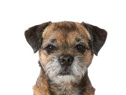 Border terrier portrait. Image taken in a studio.