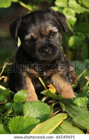 Border Terrier Puppies on Border Terrier Puppy Stock Photo 66549691   Shutterstock