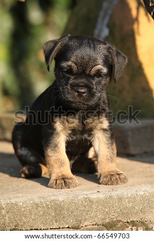 Border Terrier Puppies on Border Terrier Puppy Stock Photo 66549703   Shutterstock
